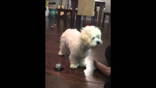 Maltipoo Puppy Clicker Training Ringing The Bell