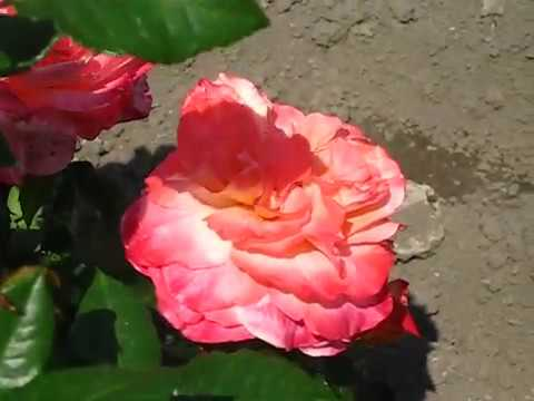 Роза Августа Луиза / Augusta Luise.
