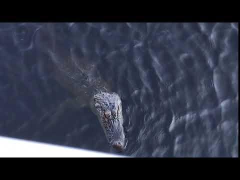 Meet Wally the alligator 🐊