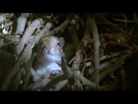 Baby Squirrels Nesting | Wildlife On One | BBC Earth