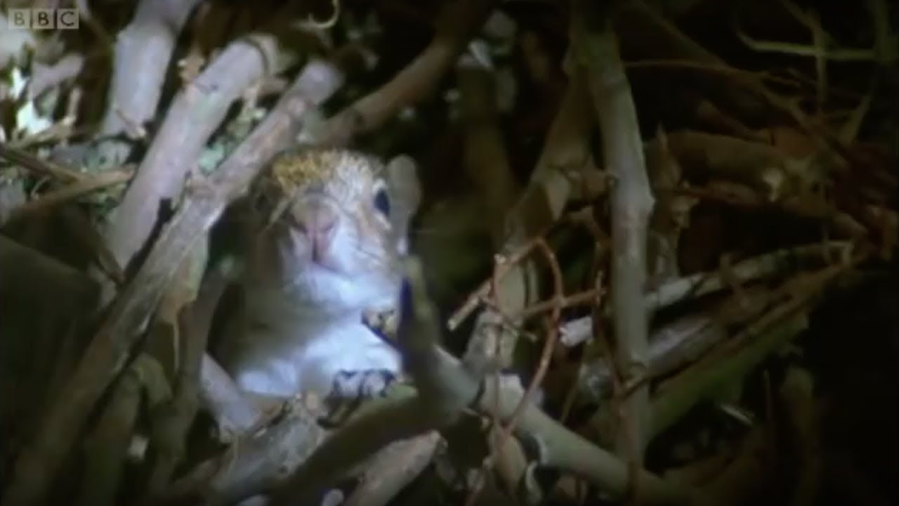 Baby Squirrels Nesting Wildlife On One Bbc Earth Youtube