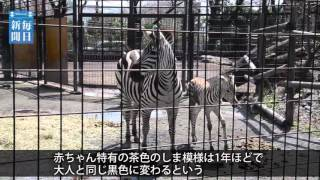 東京都羽村市動物公園で3月28日、グラントシマウマの夢夏(ゆめか)が雄...