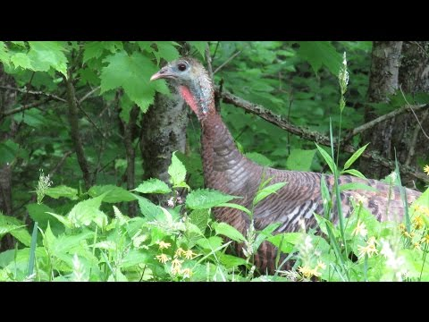Wild Turkey Hen Alarm Putt Call