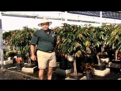 Ficus Amstel King Care Instructions