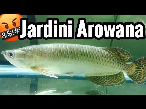 Jardini Arowana Fish Care - Warning Live Feeding
