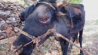 Bull safe forever after horrific abuse