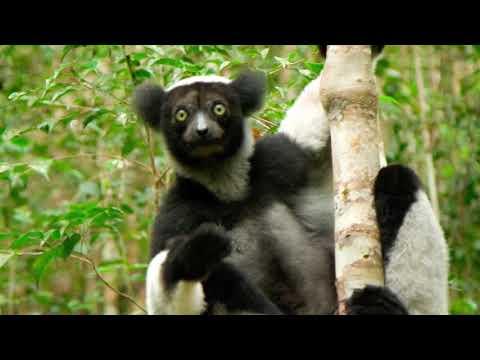 Deaf Travel in Madagascar - BABAKOTO LEMUR