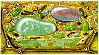 Лизосомы.Митохондрии. Пластиды. Урок биологии.