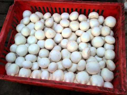 campignon mushroom harvest healthy food communities around Mount Bromo Pasuruan Indonesia