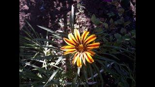 Осенние цветы в саду  Последние деньки октября