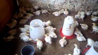 A normal type chicken farm in Kenya