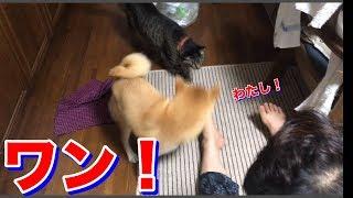猫に嫉妬し、激しく主張しちゃって後悔した柴犬ハナ -- Shiba gets jealous --