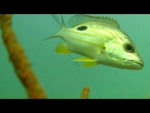 Underwater In Moreton Bay - Bill Turner Artificial Reef Redcliffe