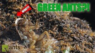GREEN ANTS?! thumbnail