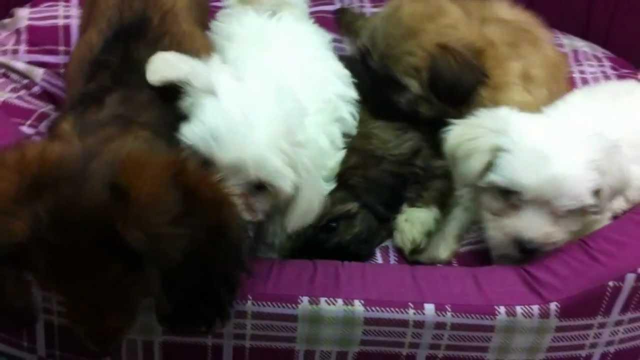מבריק כלבים למכירה - סוגי כלבים קטנים| מולי חיות מחמד - YouTube LO-19