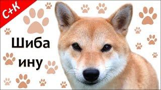 Шиба ину (сиба ину) - породы собак.
