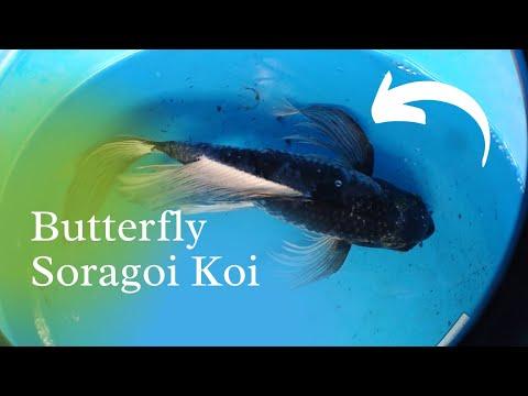 Butterfly Soragoi Koi