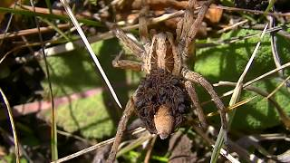 Огромный паук волк и самка с сотней детёнышей.  Крым Ялта. The huge wolf spider and the female