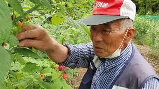 봉열TV 1주년 기념 이벤트*삼성전자우 1주*복분자수확…
