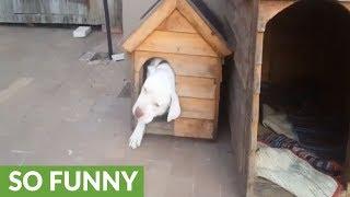 Big dog surprisingly fits into tiny house