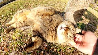 久しぶりの陽気を浴びて、キジトラ猫が気持ち良さそうにゴロゴロする