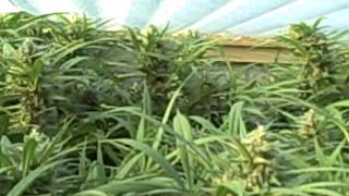 Blue Dream Cannabis Grow 2012