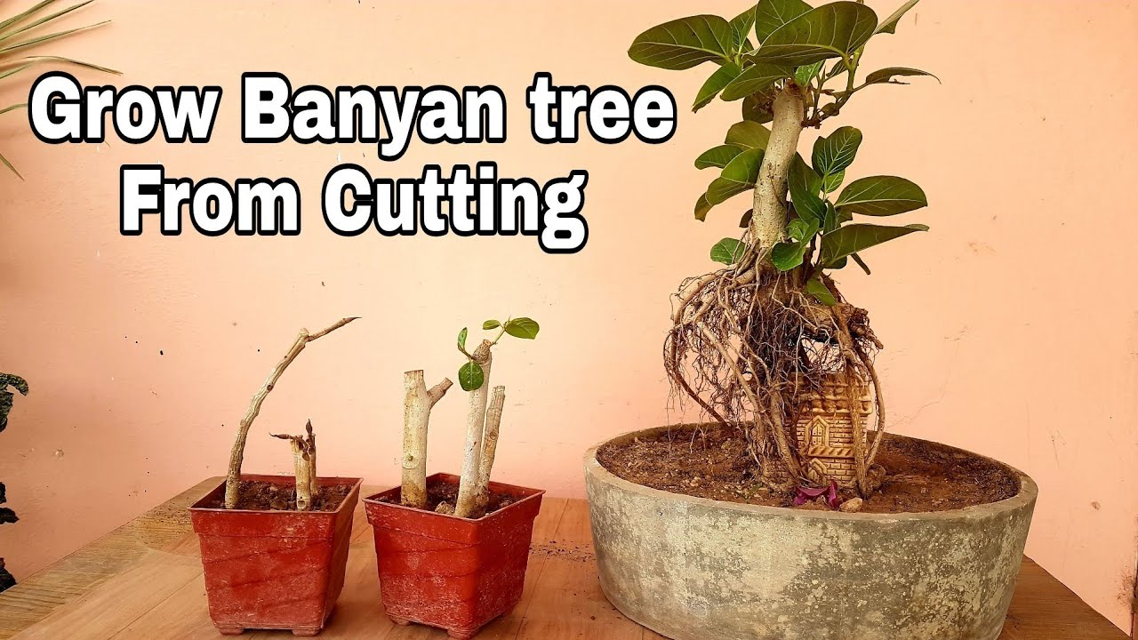 How To Grow Banyan Tree From Cutting 44 Days Update Youtube