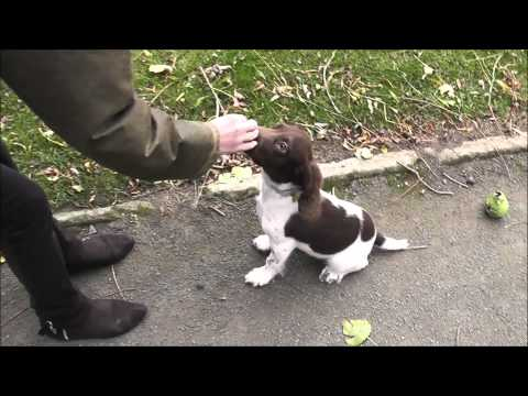 Our first Year with Eddie - The Springer Spaniel. (18 Sept 2014 - 18 Sept 2015).