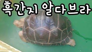 흑간지 알다브라 육지거북(Aldabra giant to…