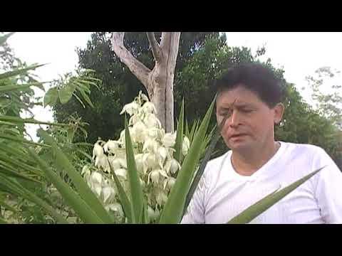 Cocina Salvadorena Flor de Izote con Chorizo How to cook Yucca Flower - Australia.