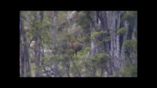 Thar and Red Deer hunting Westcoast New Zealand.wmv