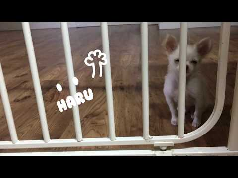 cute puppy pass through the fence ( funny pet /  smart chihuahua / cute dog /cute puppy )