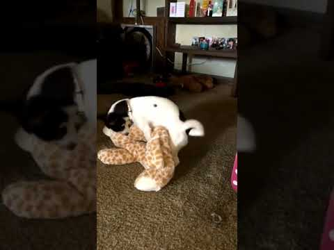 Unsupportive Dog Humps Teddy While Pooch Pal Gives Birth