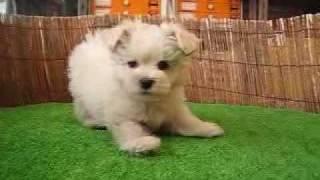 http://www.pets-hop.com マルチーズとミニチュアシュナウザーのミック...