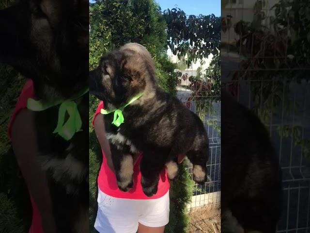Female Caucasian Shepherd #4 for sale (litter #2) video1