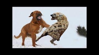 土佐は、土佐犬や土佐憲とも呼ばれ、雄大な巨大な犬です。大きな頭はか...