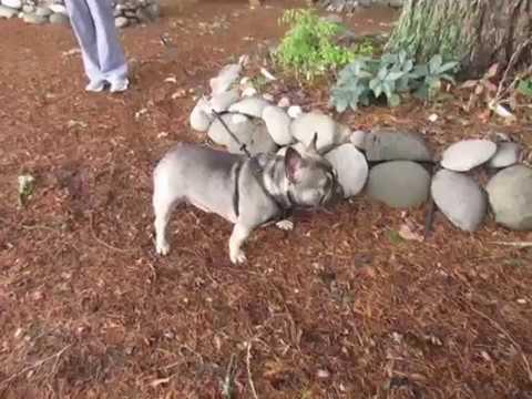 Oprah - French Bulldog Puppies ~ Oregon French Bulldog Breeders