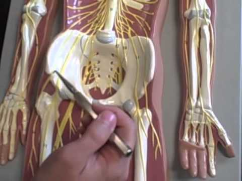 A & P 1 full body spinal nerves model Anatomy Physiology 1 student ...