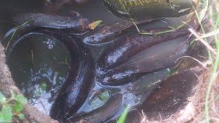Amazing Fishing in the world - Natural Life Fishing at Siem Reap - Trap Fishings  phnom penh