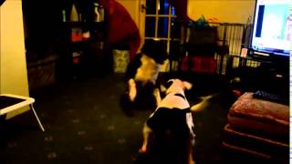 Staffordshire Bull Terrier And Collie Cross Playing Rough