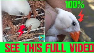 Male White zebra finch laying eggs ||zebra finch ||laying eggs ||wonderpets