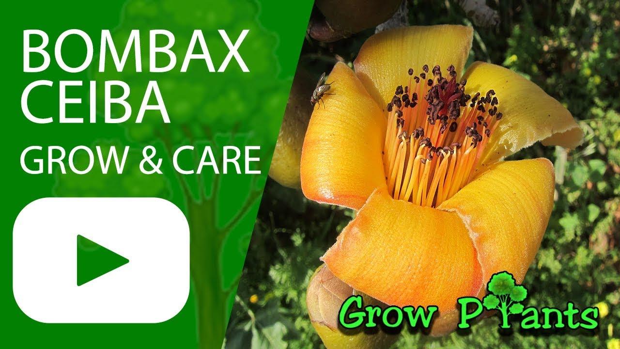 Bombax ceiba – How to grow & care