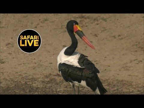 safariLIVE - Sunrise Safari - June 18, 2019