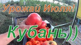 Урожай Июля!  Кубань))) Ясенская, Копанская.