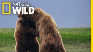 Grizzly Bear Fight Club   Deadly Instincts