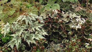Keeping Rex Begonias Healthy