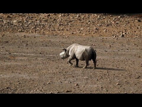 'One of the world's last truly wild black rhino...