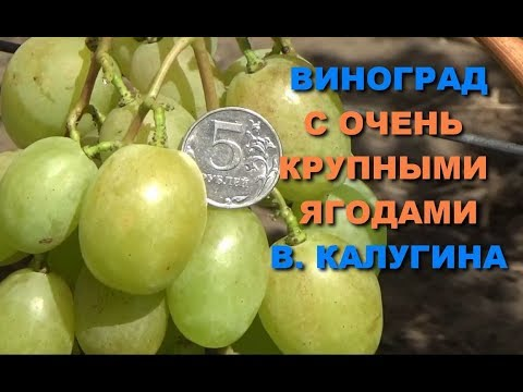 Виноград  с очень крупными ягодами  В. Калугина  www.vinograd-kriulya.com