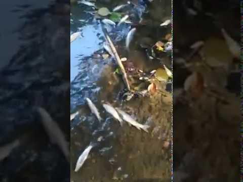 Peces Muertos en el río Pícaro