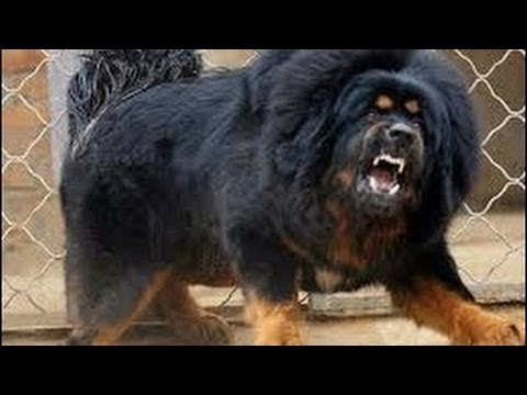 Top  Best Guard Dog Breeds In The World